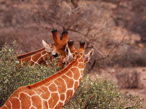 giraffes-2675887_1920