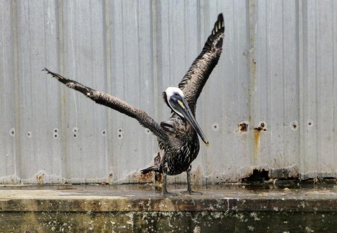 pelican-2616317_1920