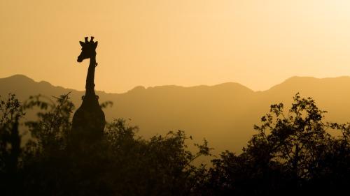 giraffe-2233366_1280
